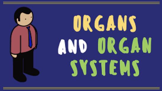 Year 8 - Organs and Organ Systems Presentation