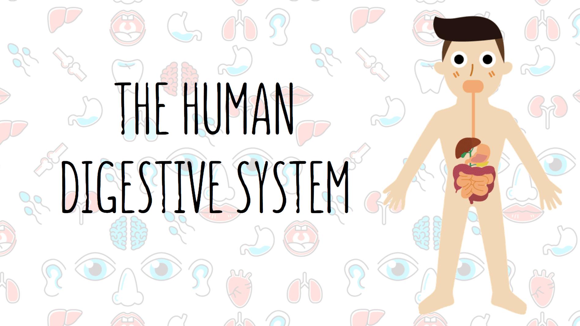 Year 9 - The Human Digestive System Presentation